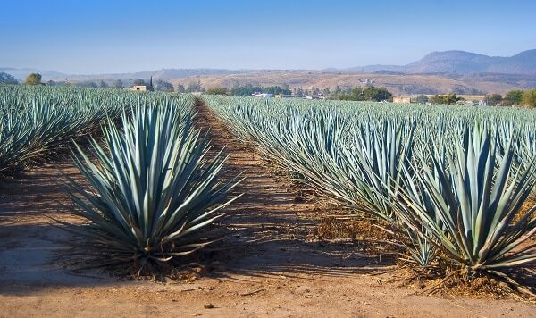 agave in harvest