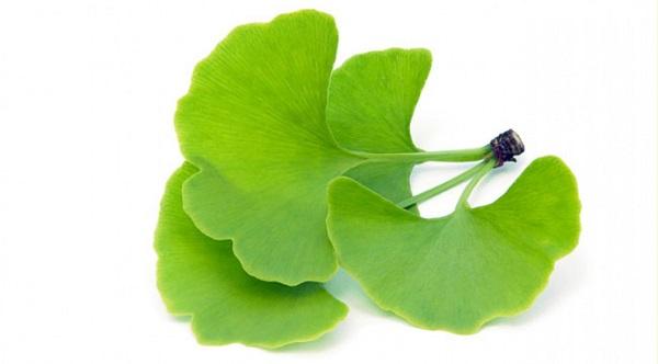 ginkgo biloba plant for herbal viagra