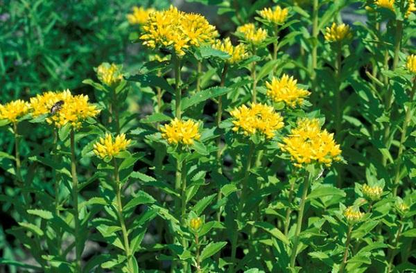 rhodiola rosea for herbal viagra