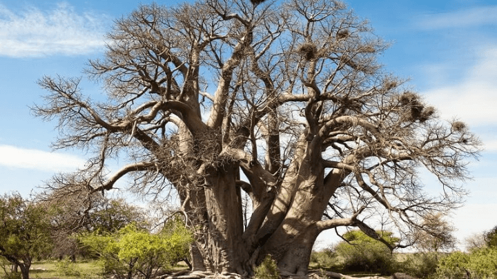 baobab fruit tree