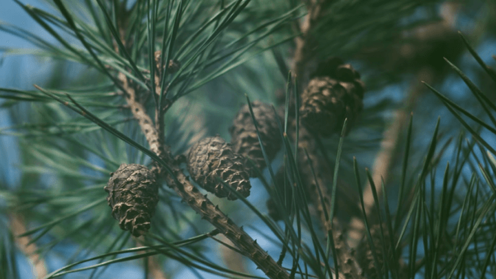 french-maritime-pinebark-tree