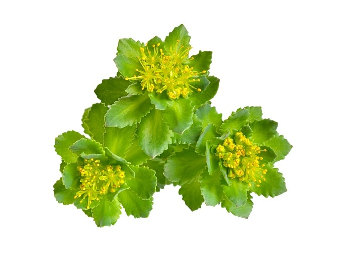 Rhodiola rosea is an adaptogen and nootropic to ease anxiety