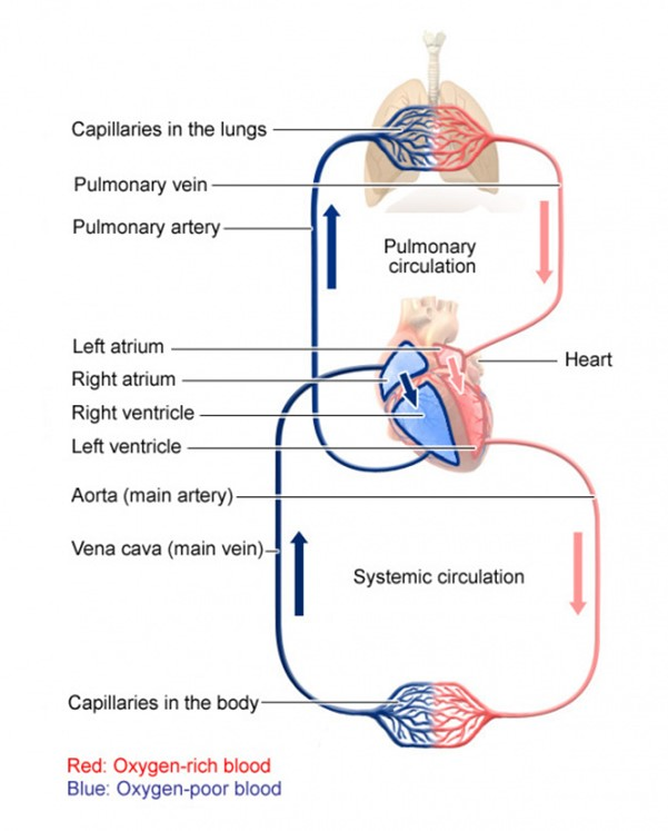 Illistration of the circulatory system